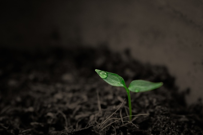 Rain Plant